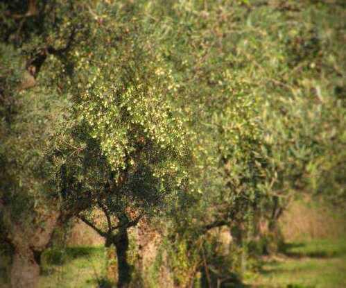 olive-abruzzesi.jpg