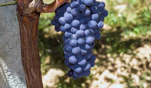 vino-cotto-montepulciano-d-abruzzo.jpg
