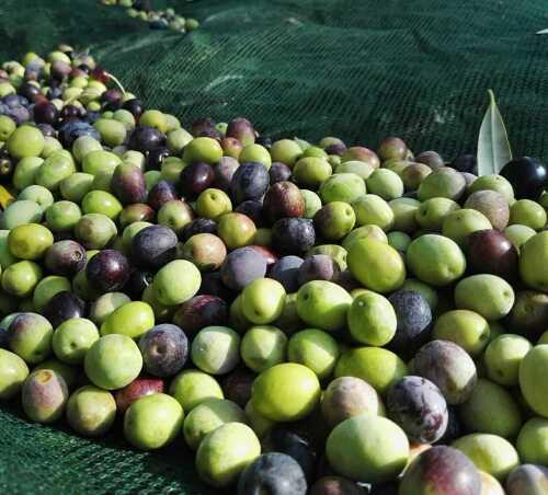 olive-dop-verna.jpg