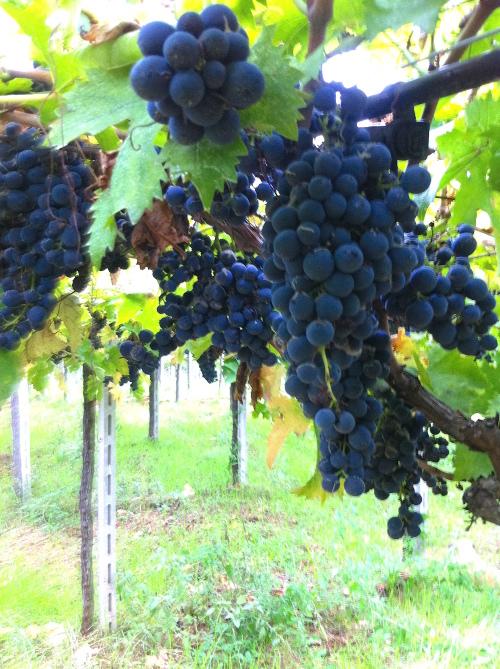 uva-montepulciano-vino-agricolo.jpg